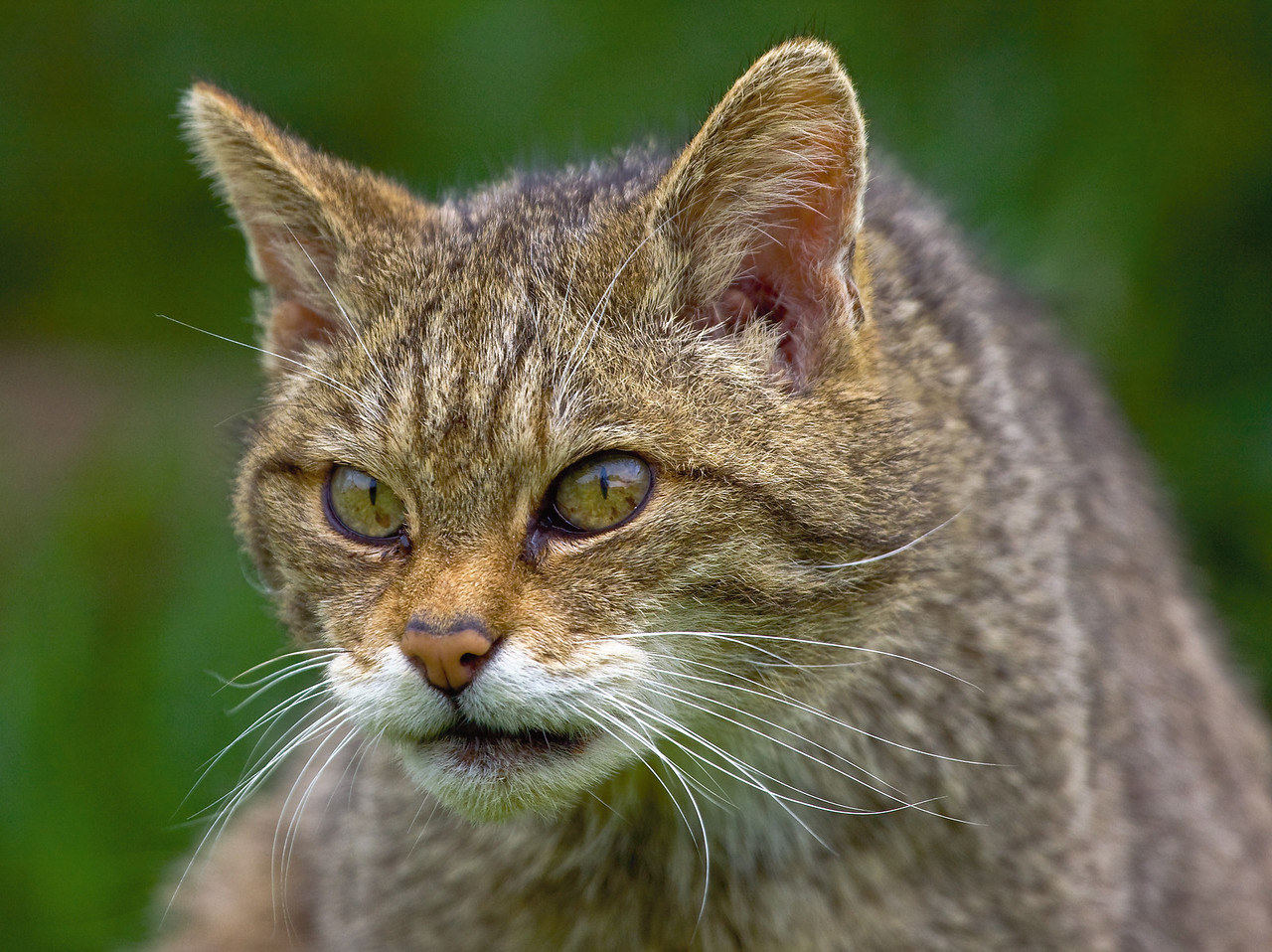 Scottish Wildcat with a very scary stare