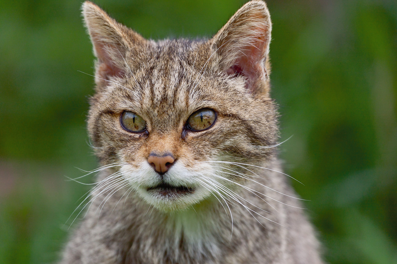 Scottish Wildcat looking very scary