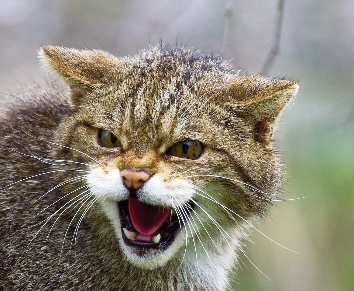 Scottish Wildcat Snarling