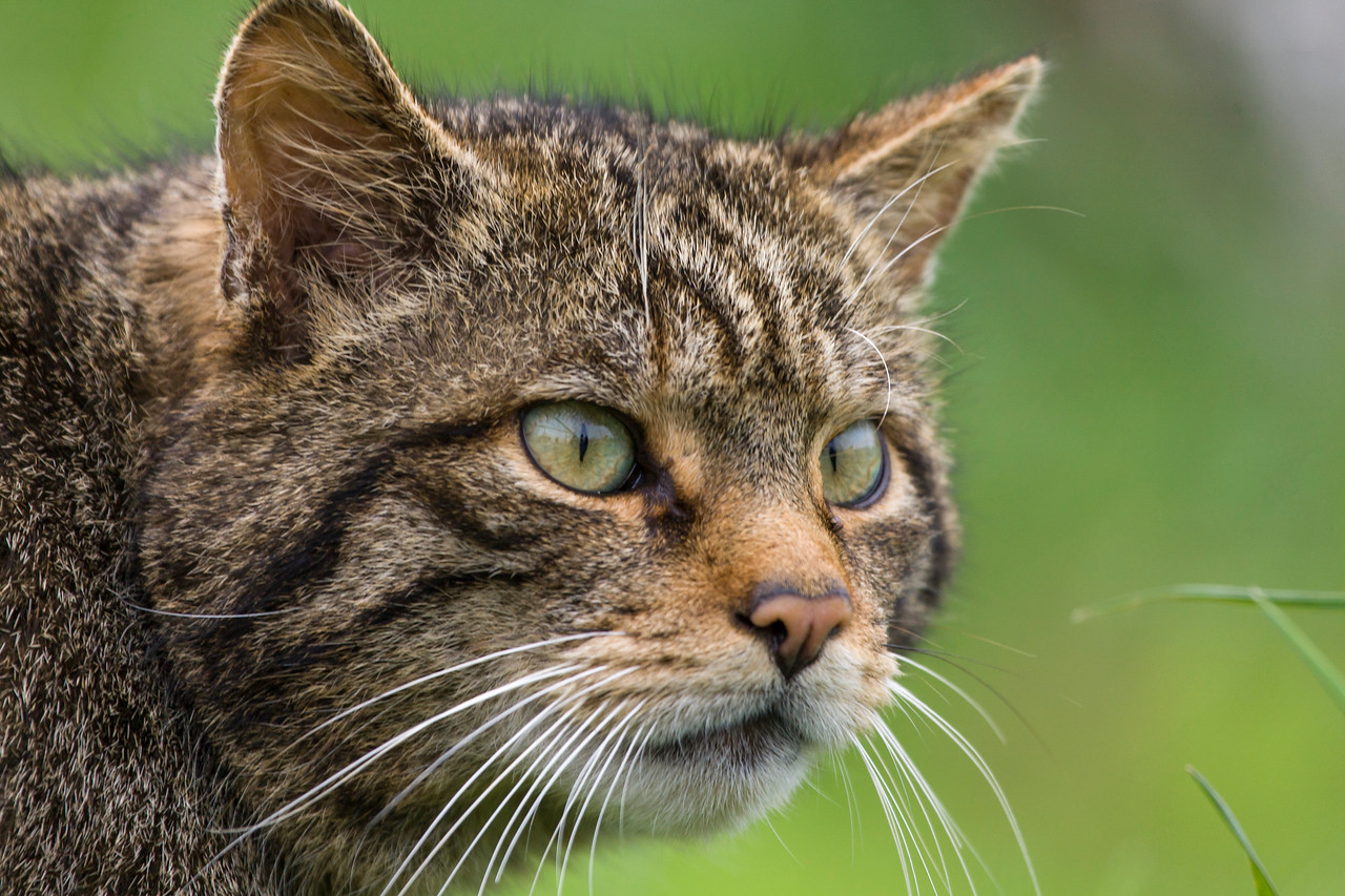 Scary looking Scottish Wildcat