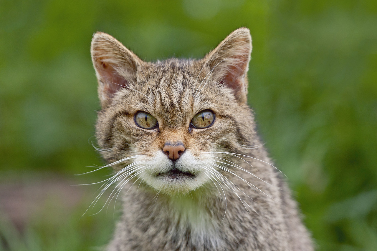 Scottish Wildcat Photos