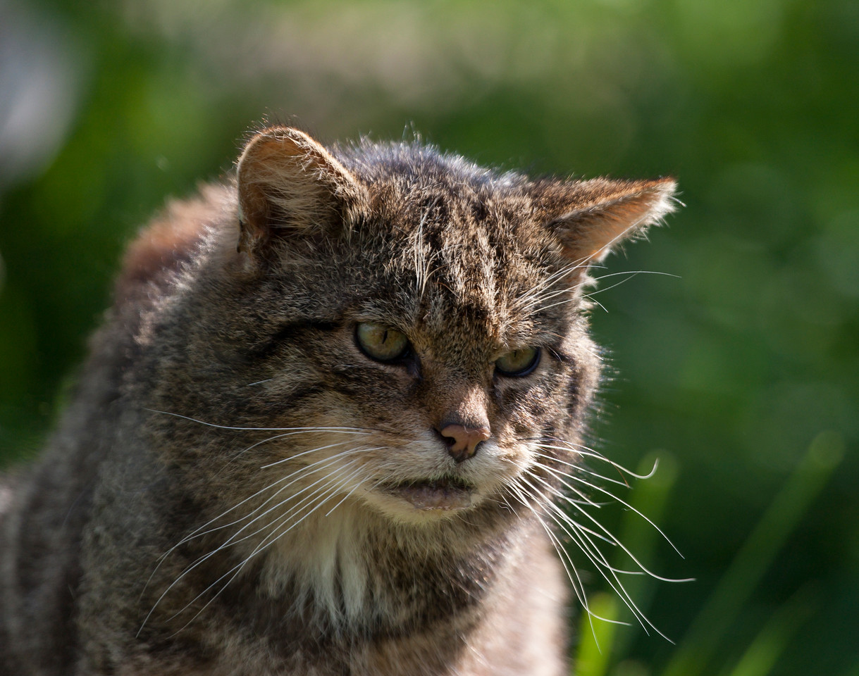 A very grumpy looking Scottish Wildcat