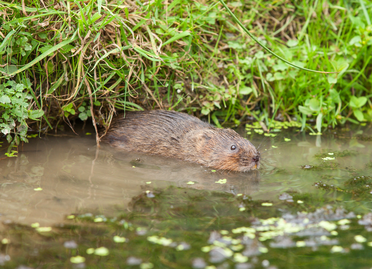 Water Vole swimming in the water