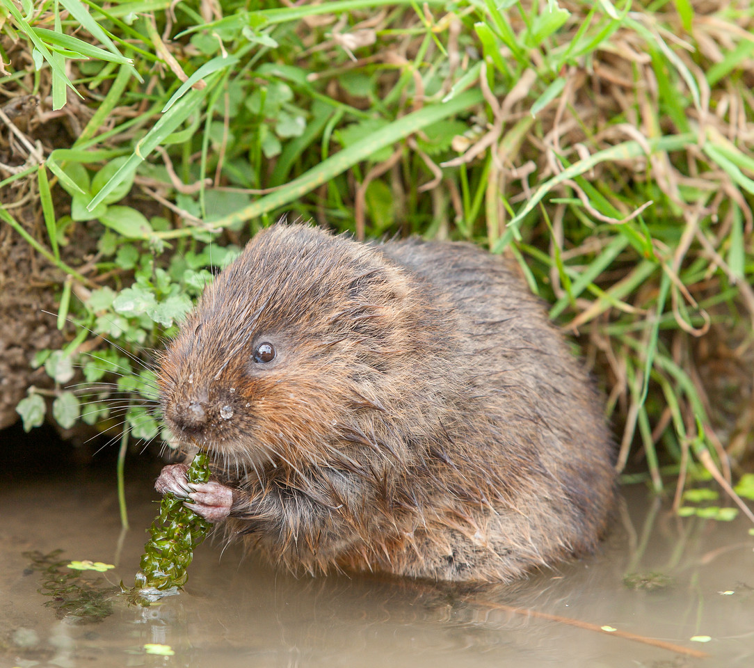 Water vole in the water eating pond weed