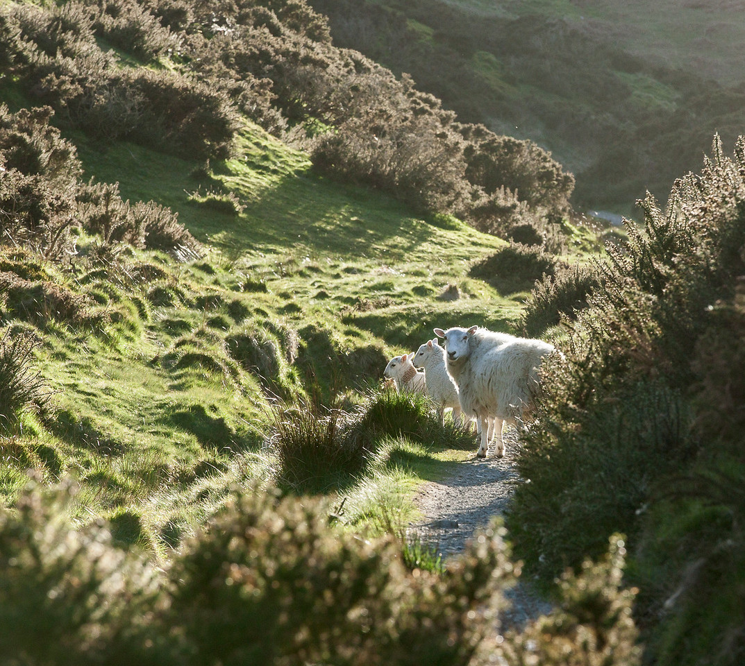 Sheep on the hills at Church Stretton in Shropshire
