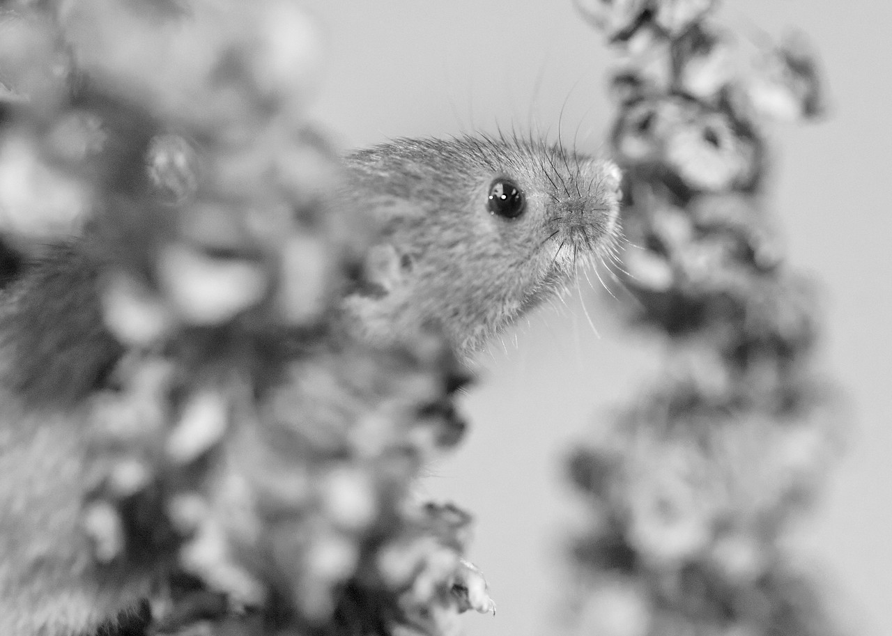Black and white harvest mouse
